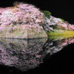彦根城桜まつり2022 ライトアップの期間は?見ごろはいつ?